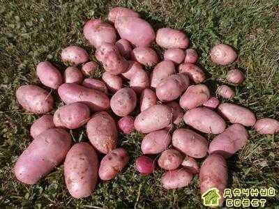 Характеристика сортов картофеля (с фото)