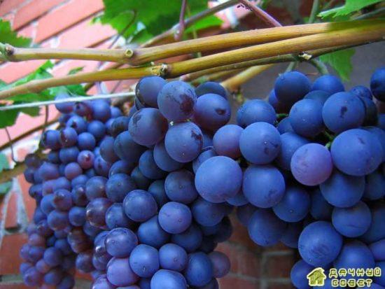 Подбор сортов винограда. Описание сортов (с фото)