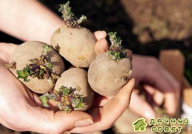 Картофель. Способы подготовки клубней к посадке