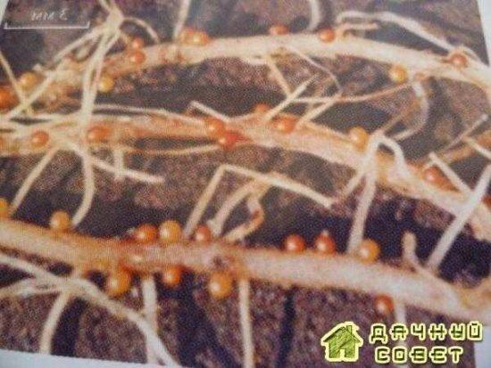 Вредители и болезни картофеля (с фото)