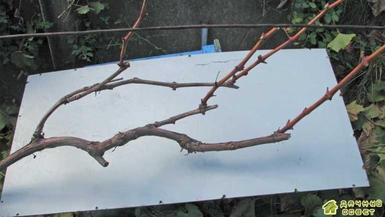 Фазы развития виноградной лозы