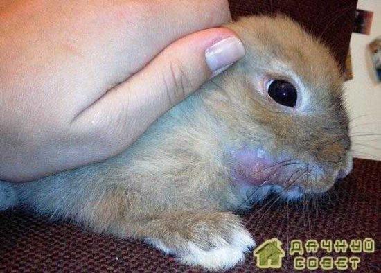 Кролиководство. Профилактика, лечение заболеваний кроликов (с фото)