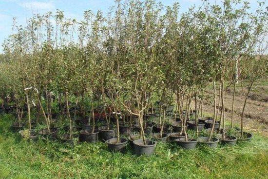 Как покупать новые саженцы плодовых деревьев и кустов