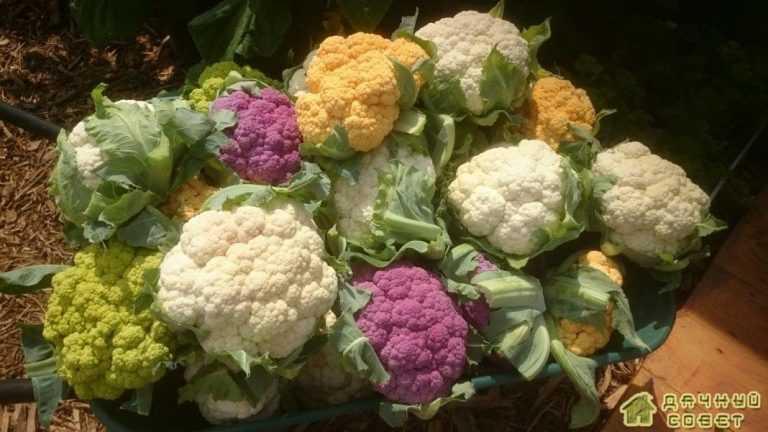 Цветная капуста от посева до урожая. Уход. Подкормки