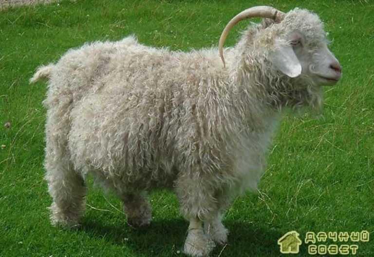 Породы коз (с фото)