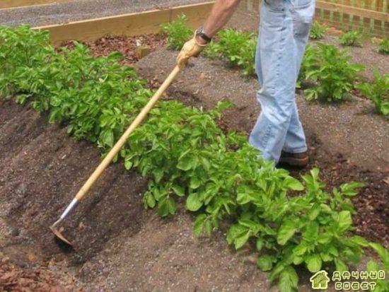 Правила ухода за картофелем разных сортов
