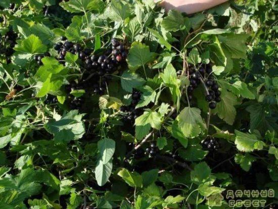 Сорта черной смородины с фото и описанием
