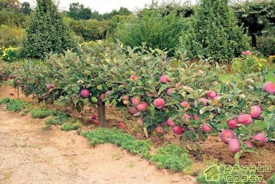 Сажаем декоративную яблоню