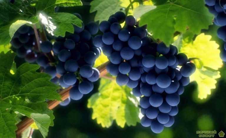 Основные сведения о происхождении культурного винограда