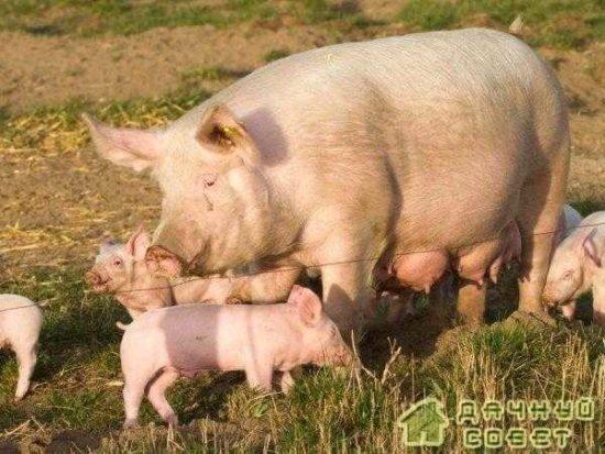 Свиноводство. Содержание свиней