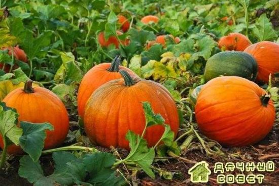 Особенности выращивания тыквы