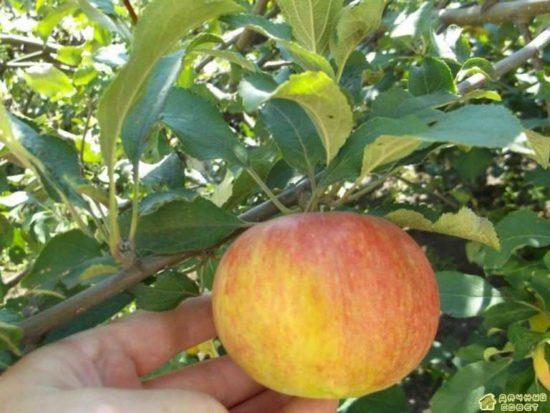 Медуница - самое сладкое яблоко