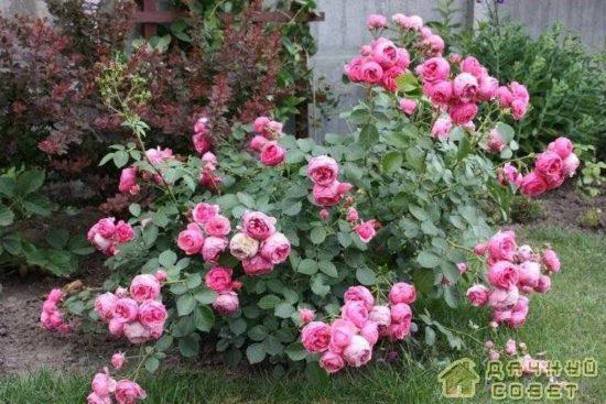 Выбираем сорт роз