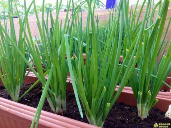 Особенности выращивания репчатого лука