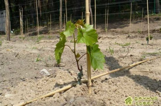 Уход за посаженными растениями винограда