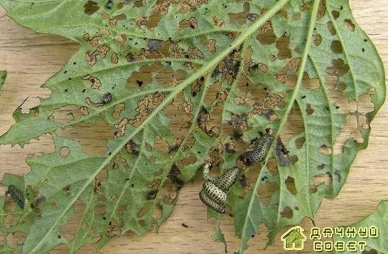 Калиновый листоед